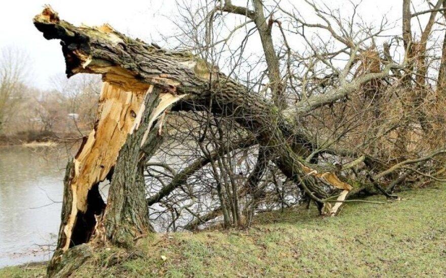 Savaitgalį galingas vėjas Kėdainiuose vartė medžius / D. Kuprijanovo nuotr.