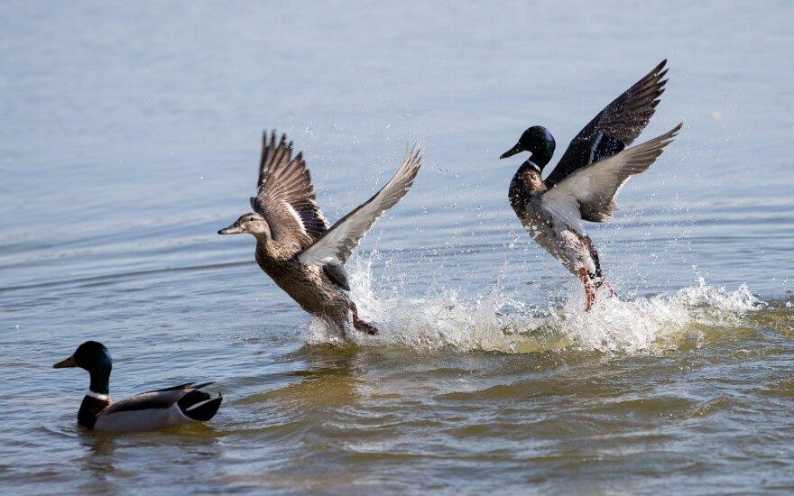 Siūlo kompensuoti laukinių paukščių padarytą žalą: prilygins laukiniams gyvūnams