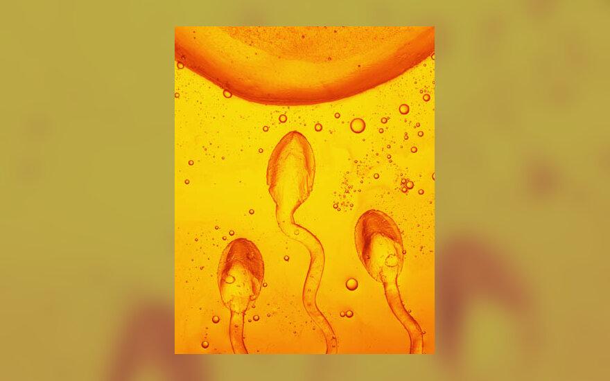 spermatozoidai, sperma, ląstelės, apvaisinimas