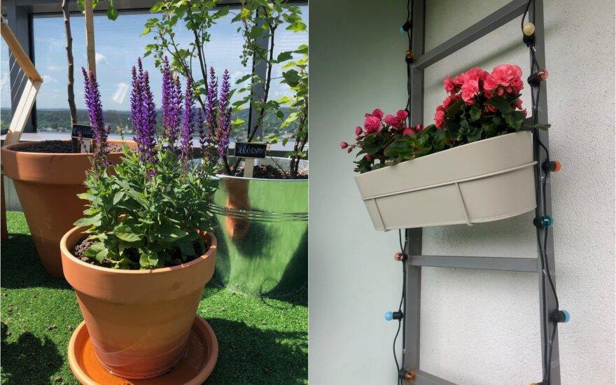 Balkono augalai