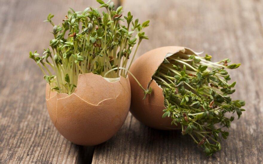 Kiaušinių lukštai nuostabi trąša – kaip surinkti ir teisingai panaudoti