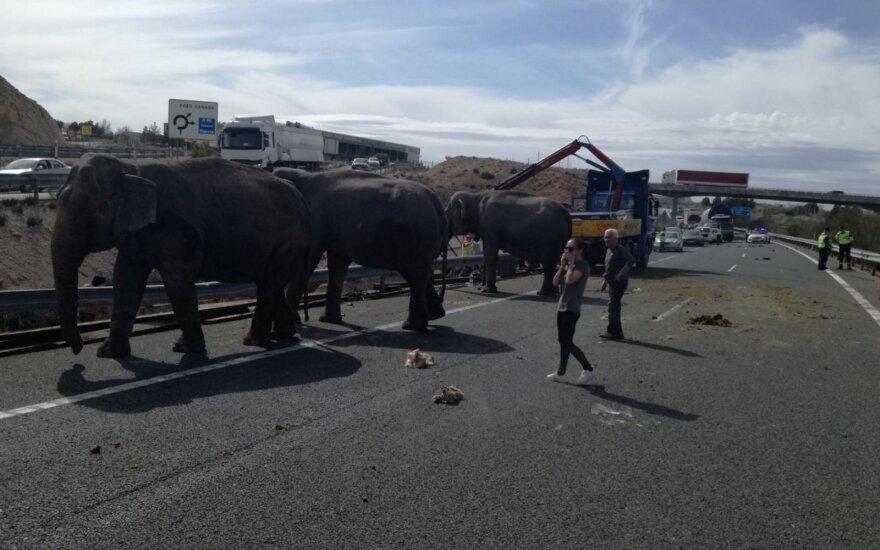 Ispanijoje per cirko sunkvežimio avariją žuvo dramblys, dar du sužeisti