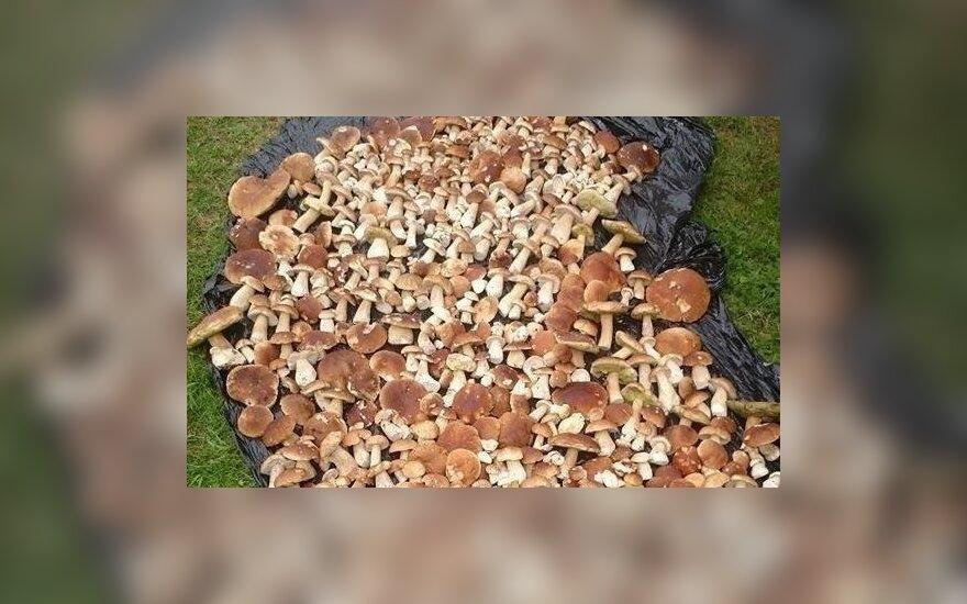 Ruoškite pintines: grybautojai namo neša šimtus grybų