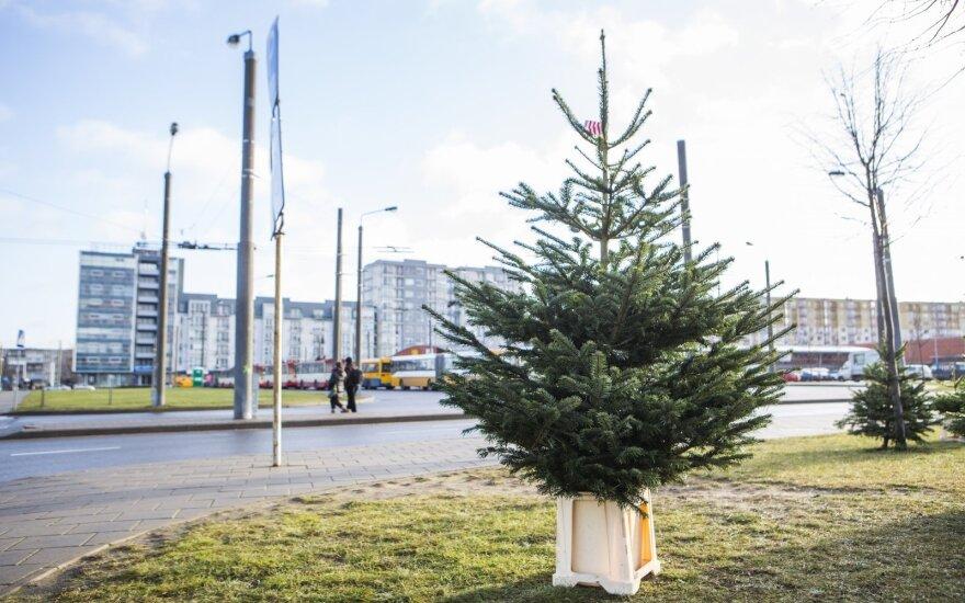 Kalėdinių eglučių kainos – kur kas didesnės nei pernai