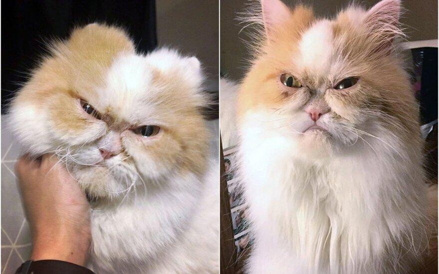 Paniuręs katinas Louis