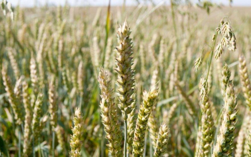 Geras grūdų derlius duonos neatpigins