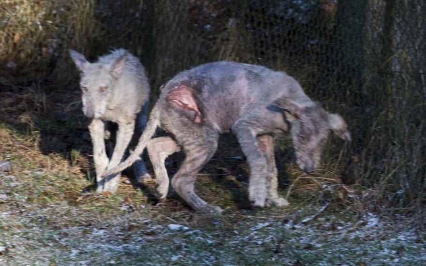 """""""Žvėrinčiaus"""" vilkai"""