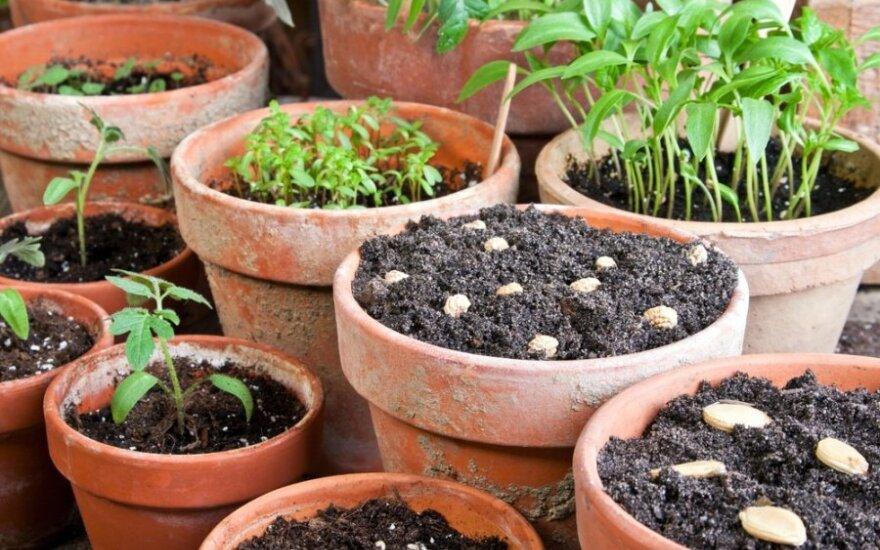 Mėnulio kalendorius sodininkui: kada ir ką sėti ir sodinti