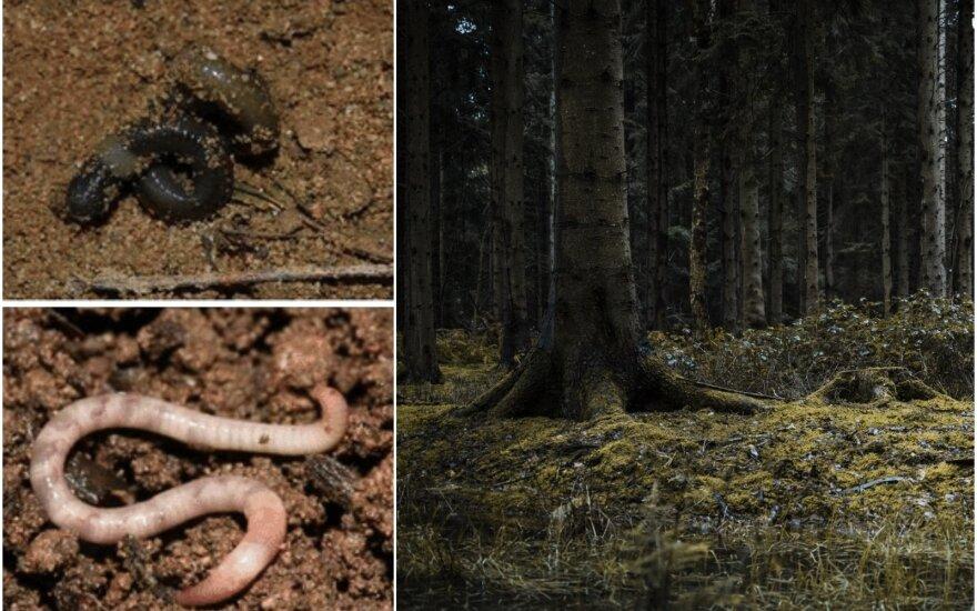 Invaziniai kirminai JAV miškuose / Chih-Han Chang/Wen-Jay/researchgate.net/Shutterstock nuotr.