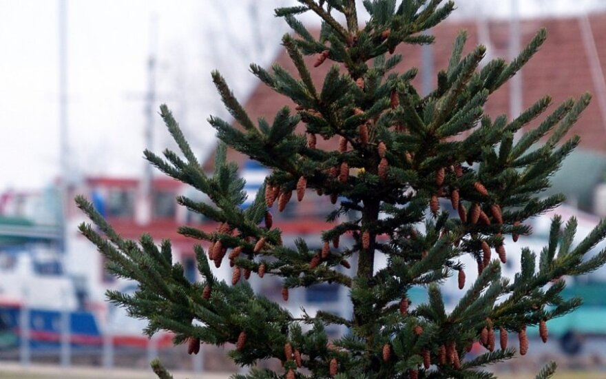 Discarded Christmas trees to be used for biofuel in Lithuania