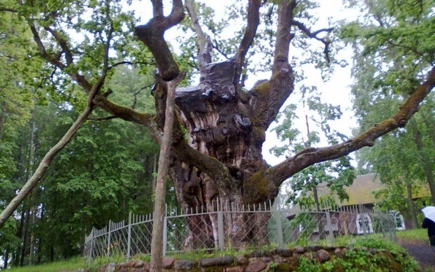 Stelmužės ąžuolas ir bažnyčia