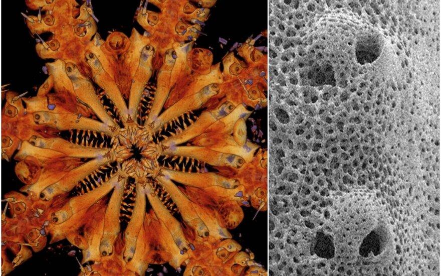 Naujai atrasta trapioji jūrų žvaigždė turi ypatingą kūno struktūrą. Jay Black/University of Melbourne/Ben Thuy/Natural History Museum of Luxembourg nuotr.