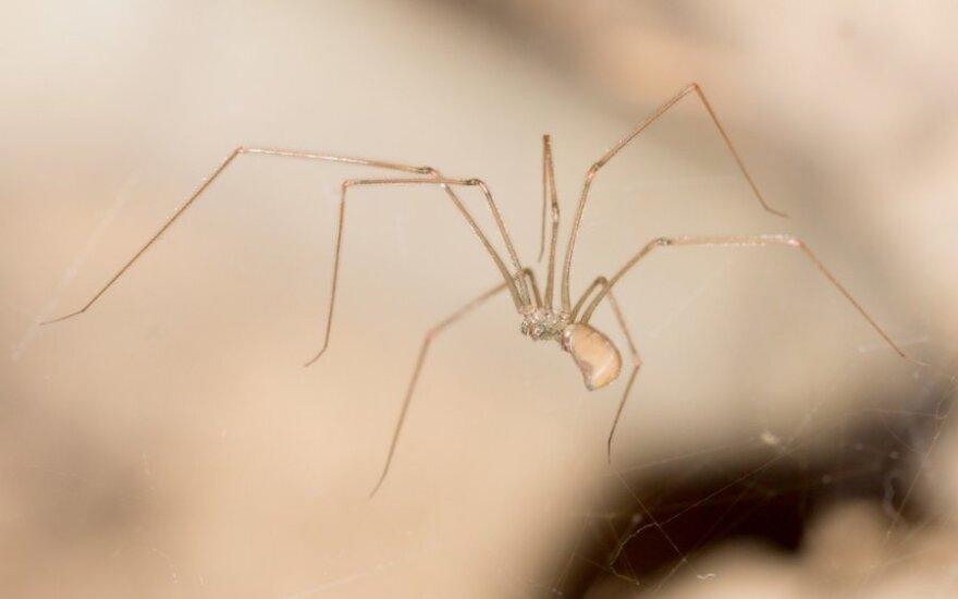 Štai kodėl negalima susiurbti vorų: dulkių siurblyje jie gali išgyventi net 200 dienų ir sveiki išropoja atgal
