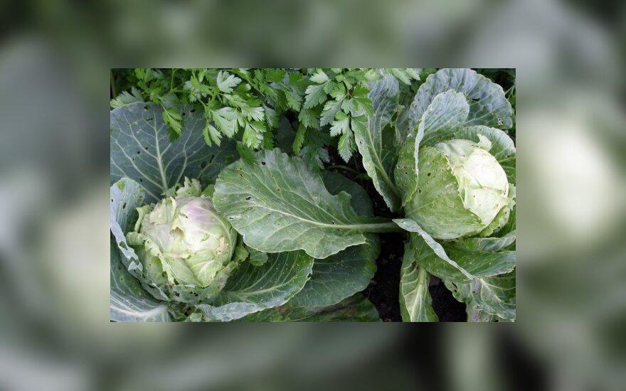 Žemų kainų karas smogė daržovių augintojams