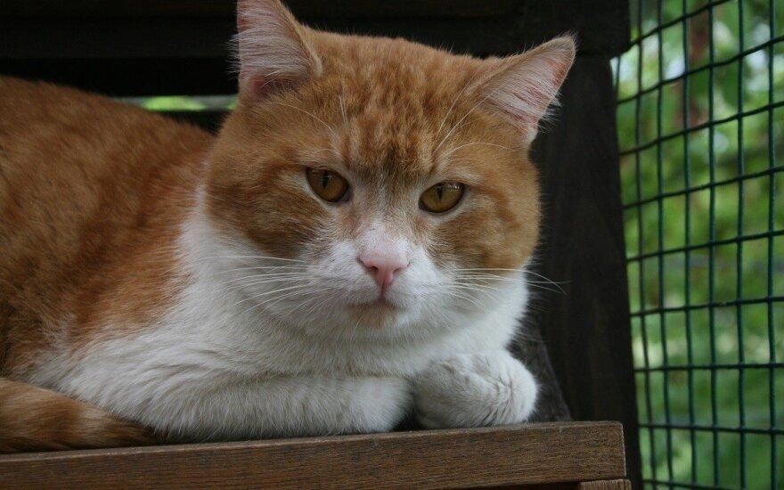 Rubis – ugninis katinukas