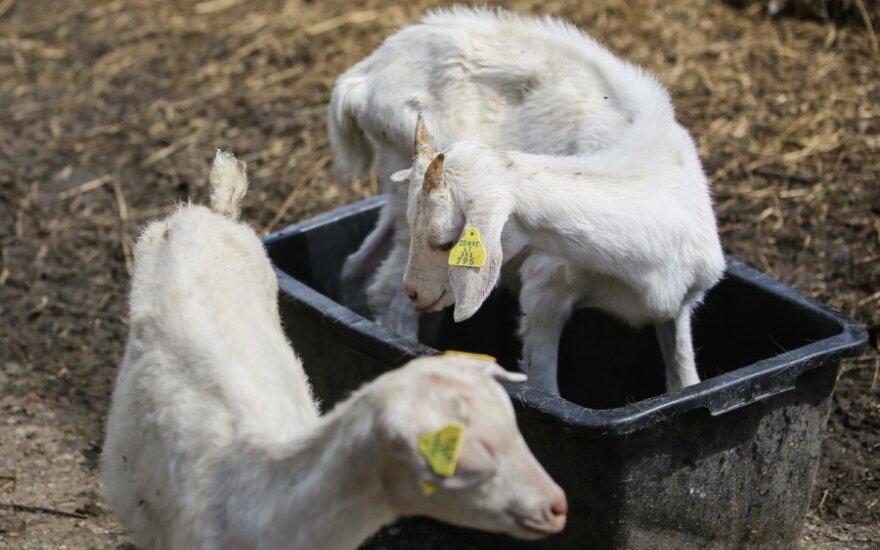 Ožkininkystė nežlugs: kuo ypatingas ožkos pienas