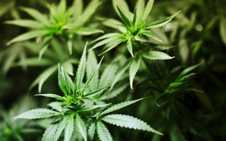 """Marihuanos gamintoja """"Curaleaf"""" per IPO Kanados biržoje pritraukė 400 mln. dolerių"""
