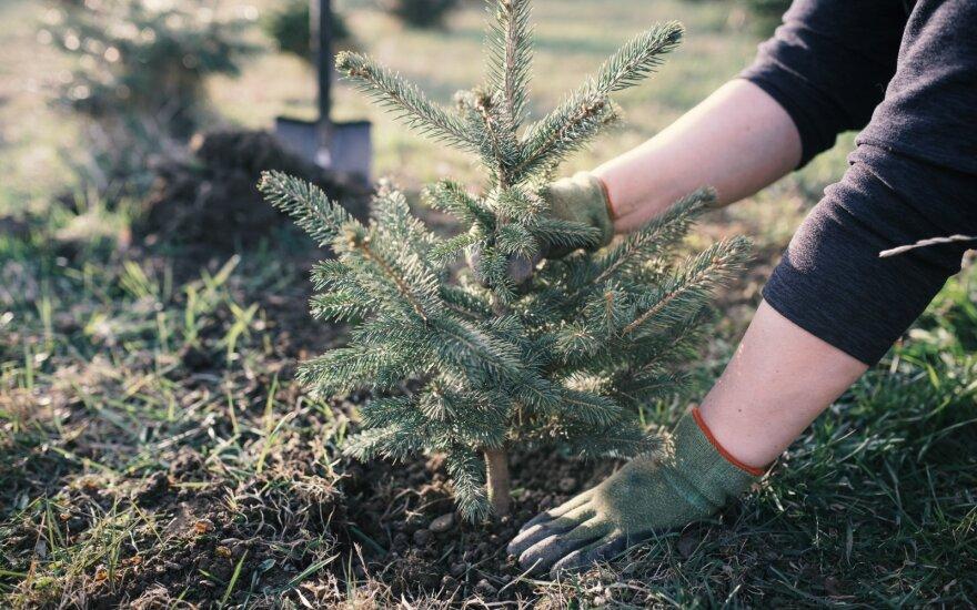 Eglės sodinimas