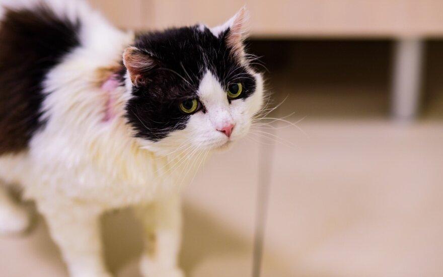 Po ligos atsigavusiam katinėliui ieškomi namai