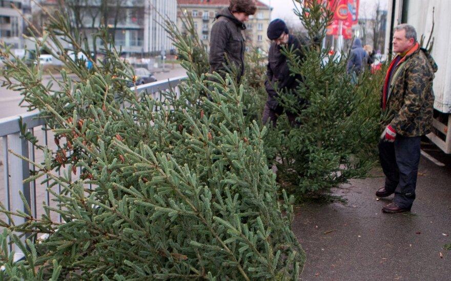 Miškininkai jau pradeda padavinėti Kalėdų eglutes: kur ir ką galima nusipirkti?