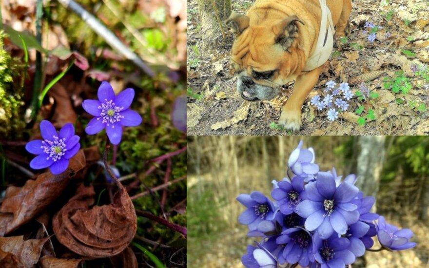 Skaitytojai dalinasi pirmosiomis pavasario šauklėmis