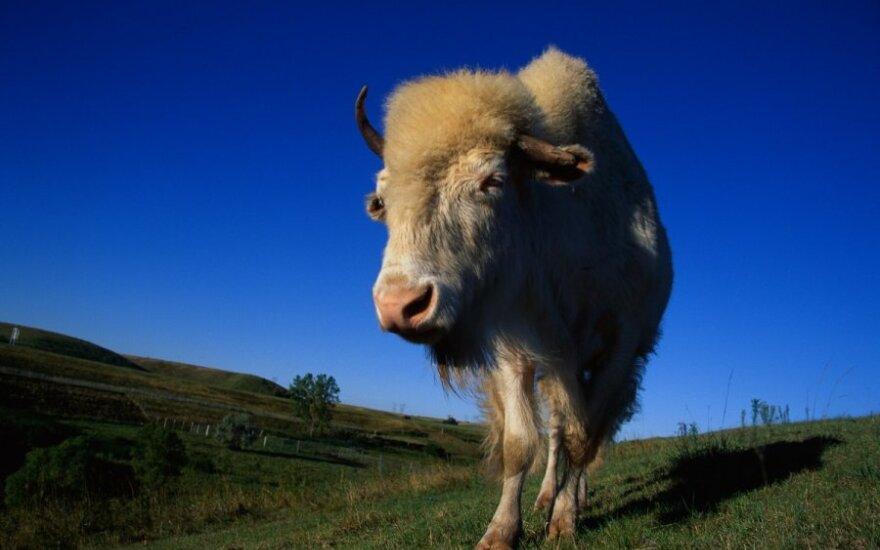 Albinosas bizonas Šiaurės Dakotos stubrų nacionaliniame rezervate