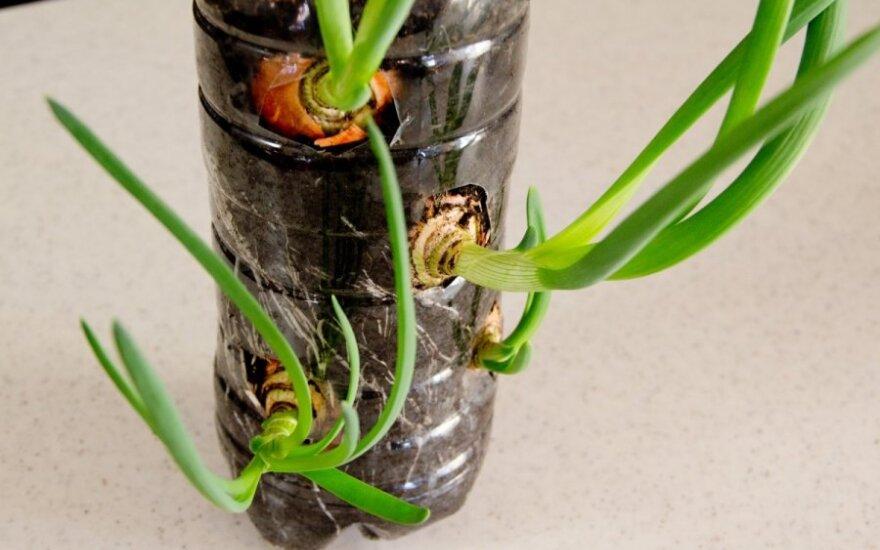 Idėja, kaip namuose auginti svogūnų laiškus