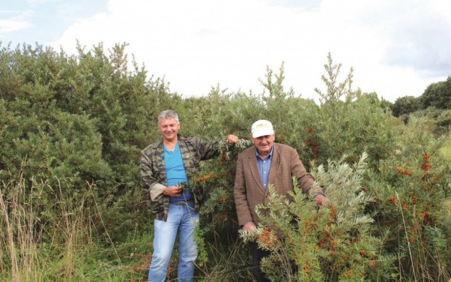 Ūkininkas: itin sveikos uogos - vis dar perspektyvus verslas, atveriantis neišnaudotas galimybes