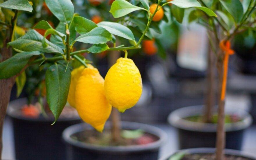 Kaip iš sėklos užauginti citrinmedį