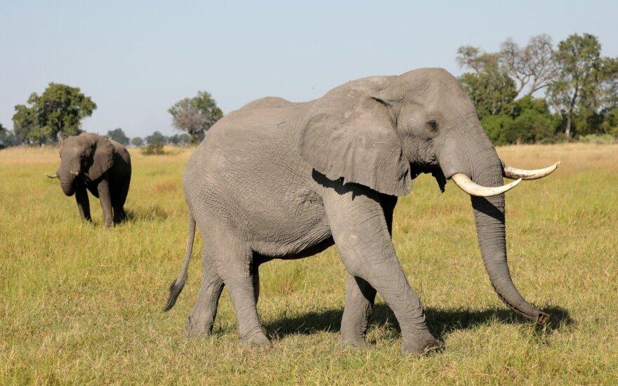 Botsvana atšaukia dramblių medžioklės draudimą
