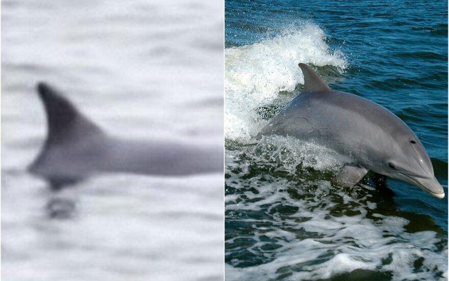 Baltijos jūroje pastebėtas delfinas