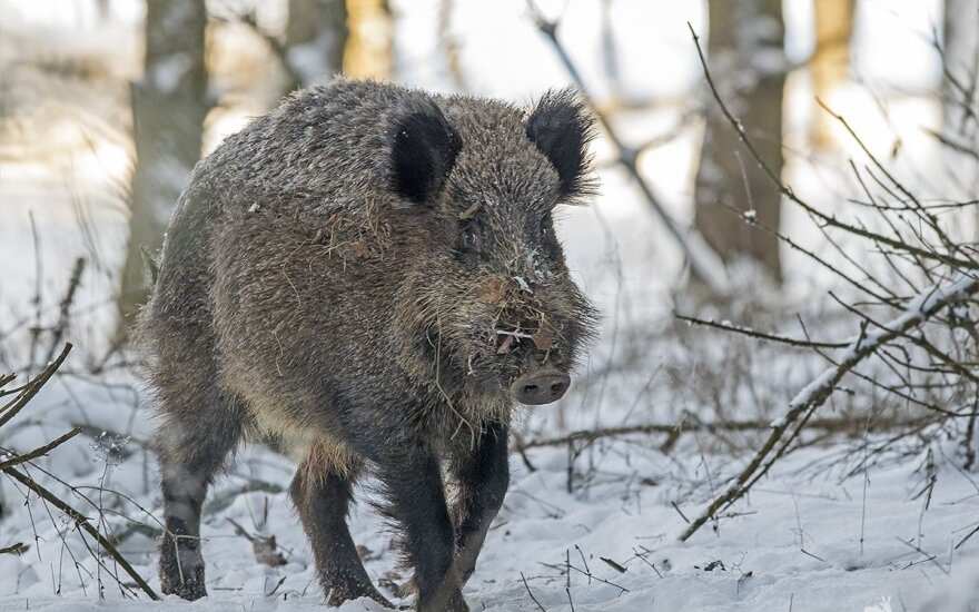 Wild Boars to be counted in Lithuania to stop African swine flu spread