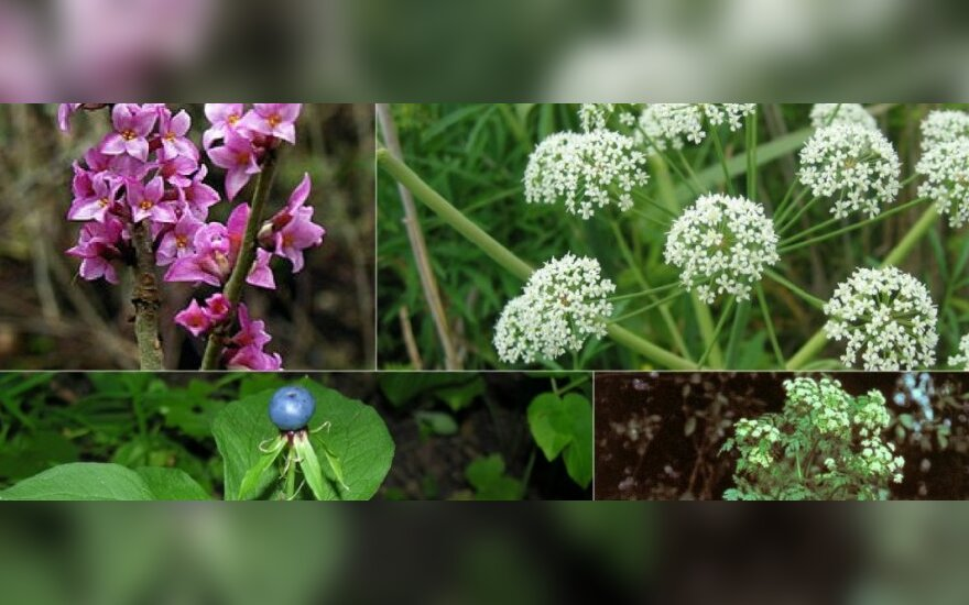 Nuodingi augalai