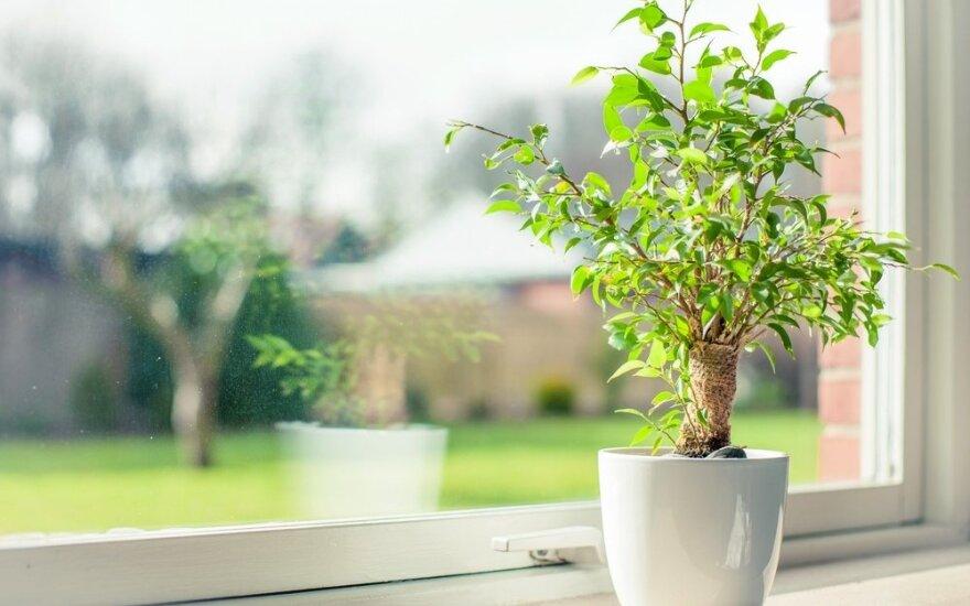 Kambarinių augalų priežiūra žiemą – ko negalima daryti