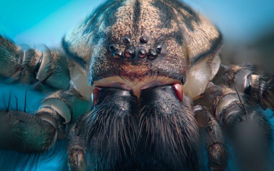 Asociatyvi nuotr. - naminis voras (kampavorių (Tegenaria) genties voras) (M. Bucko iliustr.)