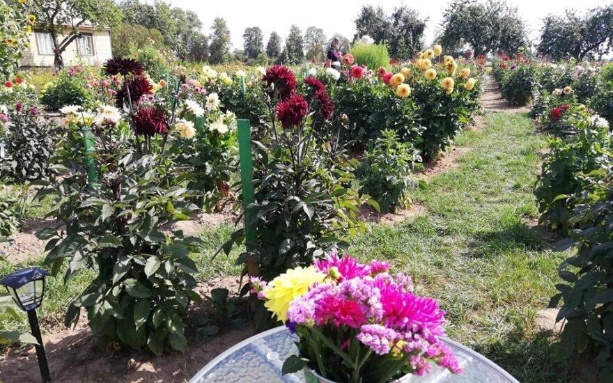 Ukmergės rajone – įspūdingas jurginų sodas: augina kelis šimtus skirtingų veislių