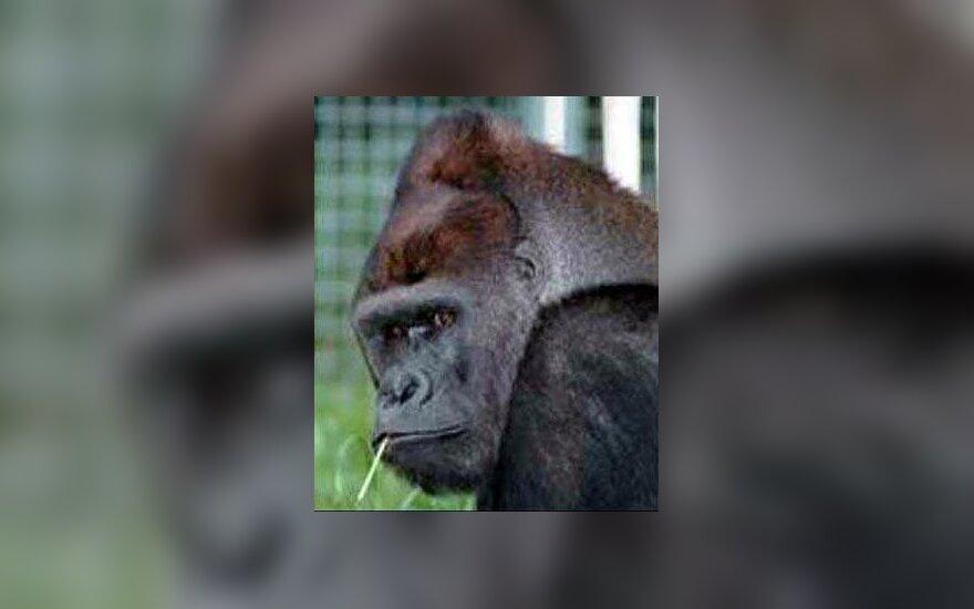 Gorila Maiklas