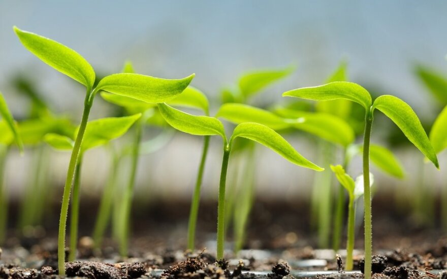 Kokių gėlių ir daržovių daigus jau galima pradėti auginti