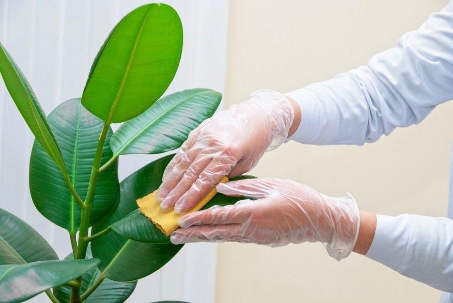 5 naudingiausi kambariniai augalai pagal feng ui for Plante caoutchouc