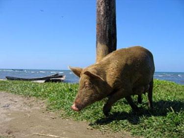 Kiaulė Livingstono paplūdimyje