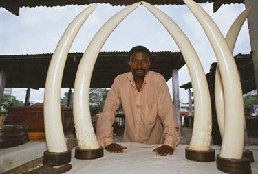 Brakonierius pardavinėja dramblio iltis