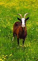 Austrija, kalnų ožys
