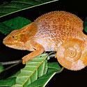 Chameleonas Andasibe Nacionaliniame parke