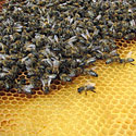 Bitutės darbininkės