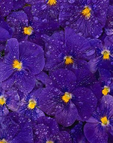 Gėlės, našlaitės