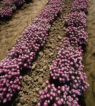 Gėlės, pajūrinė lobuliarija