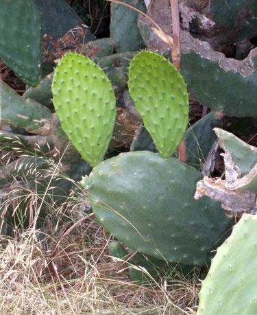 dygliuotų kriaušių kaktuso sulčių nauda sveikatai