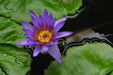 Vanduo sode, augalai, lelija