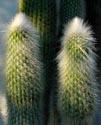 Kaktusai_6