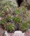 Kaktusai_7